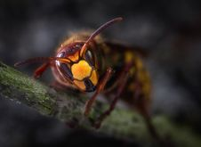 Free Yellow Jacket Wasp Macro Photography Stock Photo - 113907700