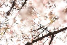 Free Cherry Blossoms Stock Photography - 113907712