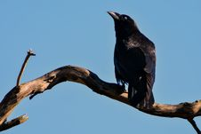 Free Black Bird On Top Of Brown Driftwood Royalty Free Stock Photos - 113907728