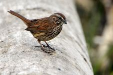 Free Close Up Photo Of Brown Sparrow Bird Royalty Free Stock Images - 113907729
