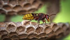 Free Yellow Jacket Wasp On Hive Closeup Photography Royalty Free Stock Photos - 113907748