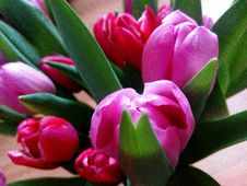 Free Close-Up Photography Of Tulips Royalty Free Stock Images - 113907799