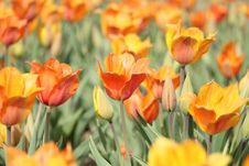 Free Orange Tulip Field Stock Photos - 113907803