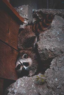 Free Raccoon Stock Photo - 113907870