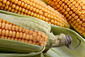 Free Corn In Ears Royalty Free Stock Image - 1141836