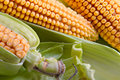 Free Corn In Ears Stock Photography - 1141842