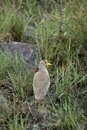 Free Wattled Lapwing Royalty Free Stock Photos - 1142988