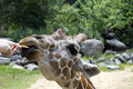 Free Hand-feeding Of Giraffe Stock Images - 1145444