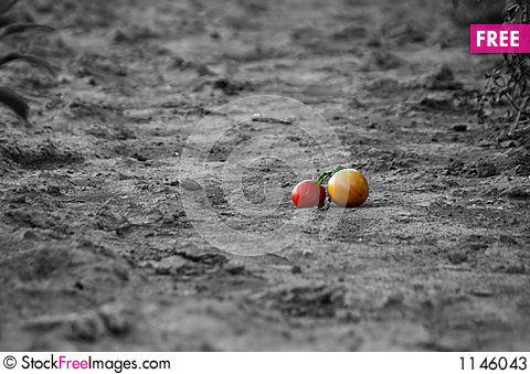 Free Grounded Tomatoes Stock Photos - 1146043