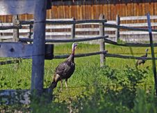 Free Wild Turkeys Royalty Free Stock Photography - 1142087