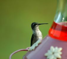 Hummingbird Feeding Royalty Free Stock Image