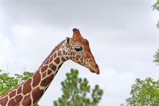 Free Giraffe Stock Image - 1143041