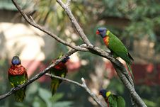 Free Rainbow Lorikeets Royalty Free Stock Photography - 1143487
