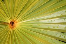 Free Radial Pattern Palm Royalty Free Stock Images - 1143749