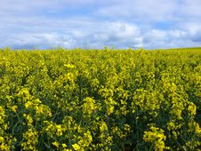 Free Canola Field Royalty Free Stock Image - 1144016