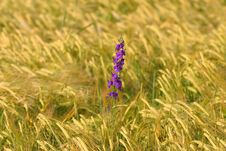 Free Purple Flower In Barley Field Stock Image - 1144191