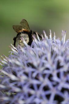 Free Bumblebee1 Stock Image - 1144281