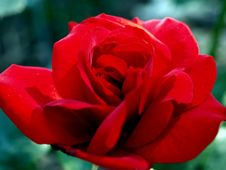 Free Red Rose Royalty Free Stock Photography - 1144307