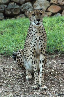 Free Cheetah Stock Image - 1144351