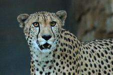 Free Cheetah Royalty Free Stock Photo - 1144365