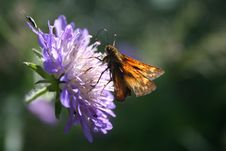 Free Skipper On A Purple Flower Royalty Free Stock Images - 1144489