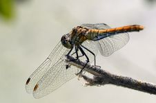 Free Back Dragonfly 1 Royalty Free Stock Images - 1144569