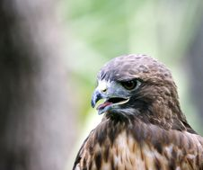 Free Hawk With Aggressive Expression Stock Photos - 1145063