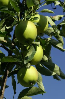 Free Apples Stock Images - 1145104