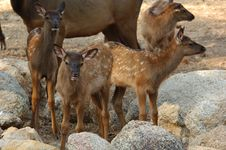 Young Elk Royalty Free Stock Photography