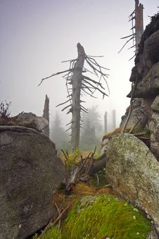 Foggy Morning In Dead Forest Stock Image