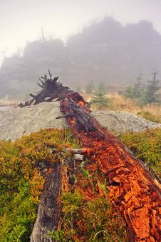 Free Foggy Morning In Dead Forest Stock Photos - 1147823