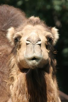 Free Camel Stare Royalty Free Stock Photography - 1148007