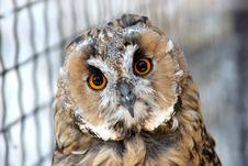 Free Owl Royalty Free Stock Image - 1148166
