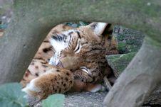 Free Lynx Stock Photo - 1148220