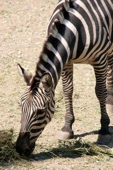 Free Zebra Stock Image - 1148231
