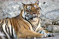 Free Siberian Tiger Royalty Free Stock Photography - 1148307