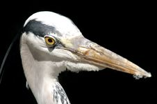 Free Grey Heron Royalty Free Stock Image - 1148316