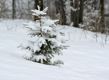 Free Isolated Fir Tree In Winter Royalty Free Stock Photography - 1148707