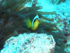 Free Anemone Fish Royalty Free Stock Image - 1149216