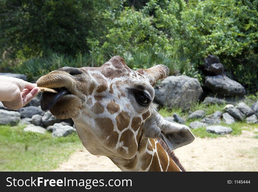 Hand-feeding of Giraffe