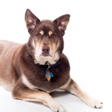 Free Handsome Husky Lab Mixed Breed Royalty Free Stock Image - 11402166