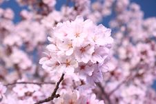 Free Flower, Blossom, Pink, Cherry Blossom Royalty Free Stock Image - 114130366