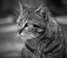 Free Cat, Whiskers, Black And White, Mammal Royalty Free Stock Photo - 114130375