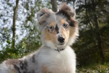 Free Dog, Dog Breed, Dog Like Mammal, Rough Collie Royalty Free Stock Photography - 114130427
