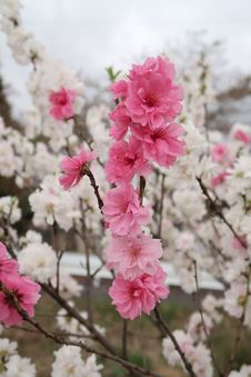 Free Pink, Blossom, Flower, Cherry Blossom Stock Images - 114130594