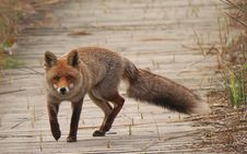 Free Fox, Red Fox, Wildlife, Mammal Stock Photo - 114130760