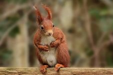 Free Squirrel, Mammal, Fauna, Rodent Stock Photography - 114130772