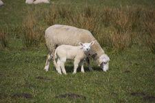 Free Sheep, Pasture, Grassland, Grazing Stock Photo - 114130850