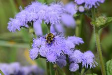 Free Honey Bee, Flower, Bee, Purple Royalty Free Stock Photos - 114130858