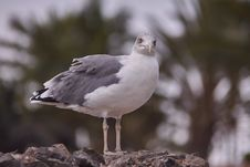 Free Bird, Gull, Seabird, European Herring Gull Stock Image - 114130951